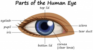 Parts-of-the-Eye-300x163